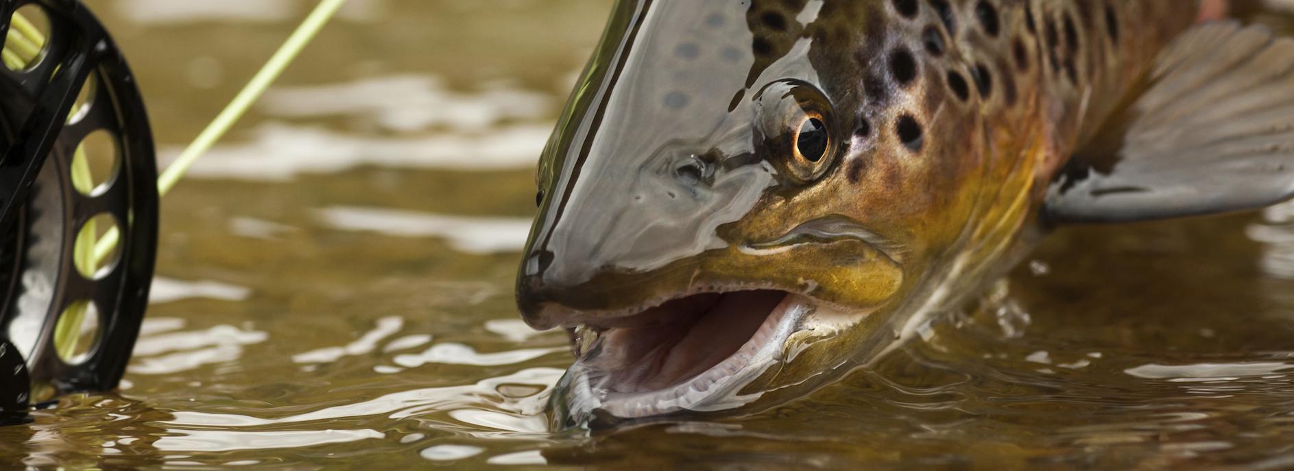 trout web